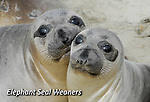 FB-M38  Elephant seal weaners.  2X3 Photo Magnet