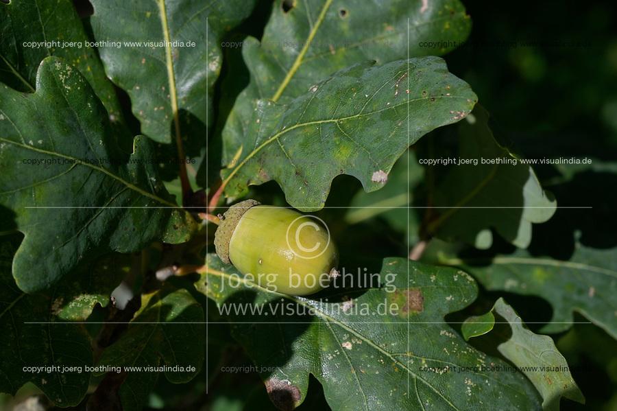 GERMANY, lower saxonia, forest, fruit of oak tree / DEUTSCHLAND, Niedersachsen, Wald, Baum Eiche, Blatt und Frucht Eichel