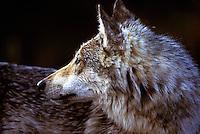 """Wild Gray """"Timber"""" Wolf.  Denali National Park, Alaska."""