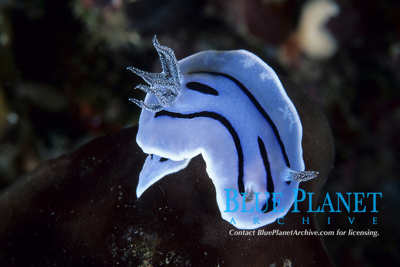 Nudibranch, Chromodoris willani, Lembeh Strait, North Sulawesi, Indonesia, Pacific Ocean