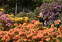 """10/05/17<br /> <br /> After six weeks without significant rainfall Vanessa Brookfield, 39, waters the azalea bed at Lea Gardens. Owner Pete Tye said: """"We're hoping for rain later this week, but if it stays dry we'll have to continue to water by hand which can take our team eight hours each day"""".<br /> <br /> <br /> All Rights Reserved F Stop Press Ltd. (0)1773 550665 www.fstoppress.com"""