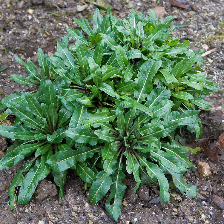 Woad (Isatis tinctoria), mid February.