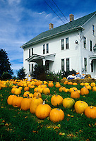 Autumn pumpkins on lawn, Lebanon, Connecticut