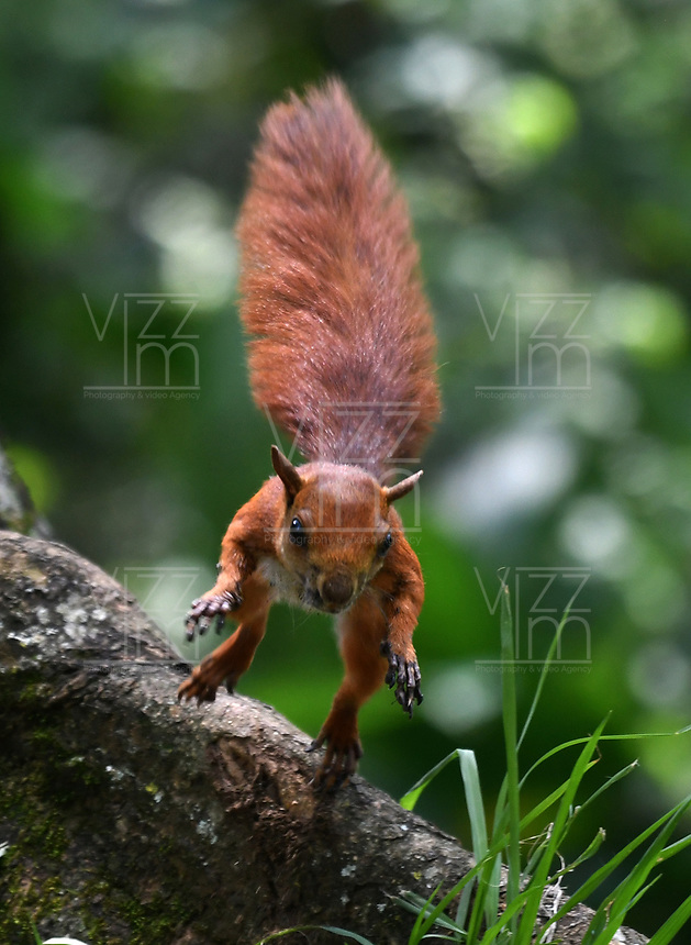 CALI - COLOMBIA - 20 - 06 - 2017: Ardilla Roja (Sciurus Vulgaris), especie de roedor común en el Parque de las Garzas en la ciudad de Cali, (Pance), en el Valle del Cauca, Colombia. / Ardilla Roja (Sciurus Vulgaris), a common rodent species in the Parque de las Garzas in Cali city, (Pance), in the Valle del Cauca, Colombia. / Photo: VizzorImage / Luis Ramirez / Staff.