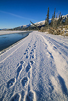 Lynx tracks in the snow along the Koyukuk River, Brooks Range, Arctic Alaska.