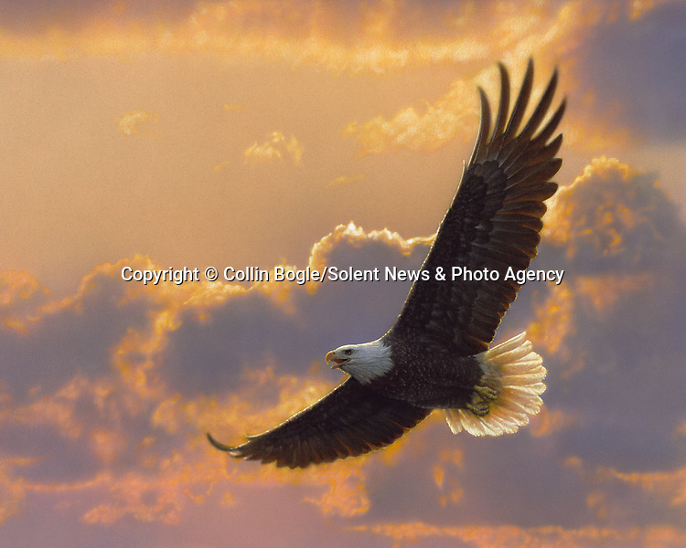 """NOTE FOR ONLINE:  MAXIMUM OF 10 IMAGES TO RUN ALONGSIDE THIS STORY - UNLESS OTHERWISE AGREED WITH A REVISED FEE IN PLACE.<br /> <br /> Pictured:  One of Collin Bogle's realistic paintings: Soaring Spirit<br /> <br /> These intricately detailed pictures of wild animals look like photographs - but are in fact paintings.  American artist Collin Bogle's extraordinary work portrays close up encounters with animals such as lions, snow leopards, wolves, eagles and bears.<br /> <br /> He uses photos of the animals as a reference and spends between two weeks and two months painstakingly creating each piece.  Mr Bogle, who works out of his home in Seattle, Washington, in the United States, said: """"My dad is an artist and was also a high school art teacher - so I started learning to paint as soon as I could hold a brush.  SEE OUR COPY FOR DETAILS.<br /> <br /> Please byline: Collin Bogle/Solent News<br /> <br /> © Collin Bogle/Solent News & Photo Agency<br /> UK +44 (0) 2380 458800"""