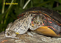 1R24-9038  Eastern Gray Treefrog - with painted turtle - Hyla chrysoscelis or Hyla versicolor, © Brian Kuhn/Dwight Kuhn Photography