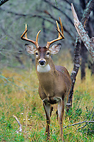 White-tailed deer (Odocoileus virginianus) buck in southern U.S.