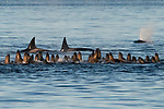 Orca pod circle a colony of sea lions while looking for their dinner by Wayne Duke