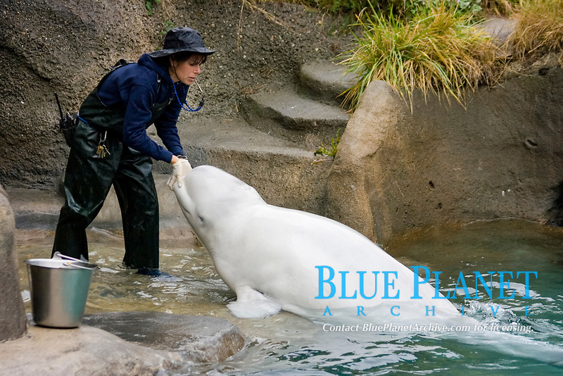 A marine mammal researcher works with a Beluga Whale (Delphinapterus leucas) at the Point Defiance Aquarium in Washington State. (do) (no MR)