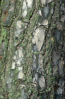 Wald-Kiefer, Waldkiefer, Gemeine Kiefer, Föhre, Rinde, Borke, Stamm, Pinus sylvestris, Scots Pine