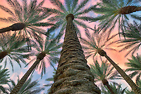 Looking up into California Fan Palm trees with sunrise clouds. Palm Desert, California