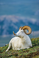 Dall sheep ram rests on the tundra hillside in Denali National Park, Alaska