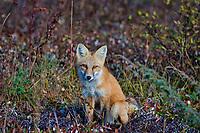 Red Fox (Vulpes vulpes) resting.  Yukon/British Columbia border.  Sept.