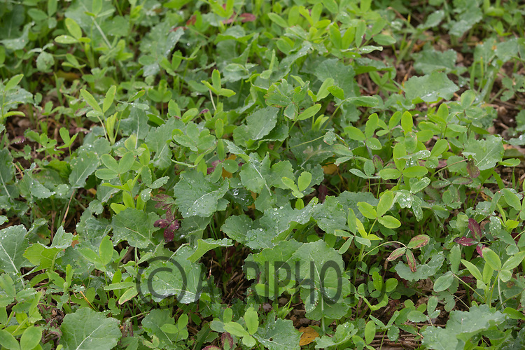 6.10.2020  Berseem Clover growing as companion crop to oilseed rape<br /> ©Tim Scrivener Photographer 07850 303986<br />      ....Covering Agriculture In The