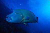 Napoleon wrasse, Cheilinus undulatus, Blue Corner, Palau, Micronesia, Pacific Ocean