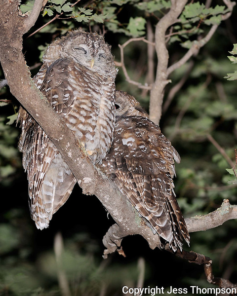 Spotted Owls in Southeastern Arizona