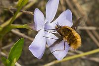 Großer Wollschweber, Wollschweber, Blütenbesuch an Immergrün, Hummelschweber, Bombylius major, Large Bee-fly, dark-edged bee-fly, greater bee fly, beeflies, beefly, bee flies, bee fly, Le grand bombyle, Bombyliidae