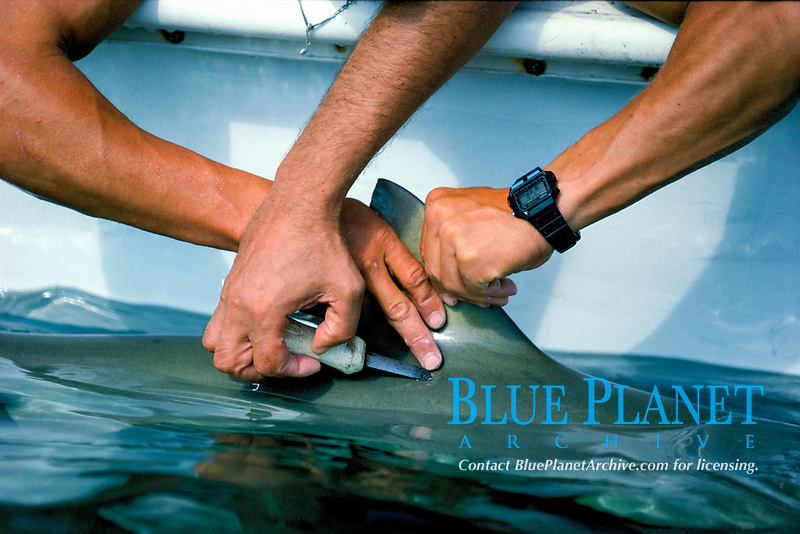measuring and tagging, Caribbean reef shark, Carcharhinus perezii, Bimini, Bahamas , Caribbean Sea, Atlantic