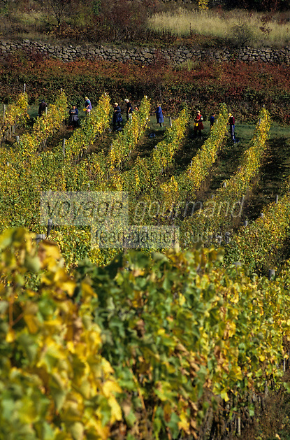 Europe/Hongrie/Tokay/Env Sarospatak/Pajzos: Les vignes et les vendanges