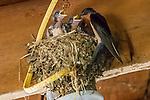Baby Barn Swallows feeding in a nest in a barn