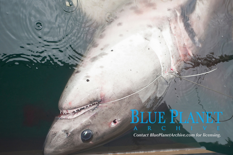 dead salmon shark, Lamna ditropis, with bullet hole in head from bang stick, alongside of fishing boat, Prince William Sound, Alaska, USA, Pacific Ocean, USA,