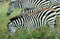 TANZANIA Nationalpark Ngorongoro Crater near Arusha , Zebra / TANSANIA Nationalpark Ngorongoro Crater bei Arusha , Zebra