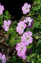 Geranium x Riversleaianum 'Mavis Simpson', end June.