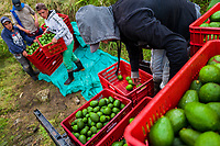 Colombian farm workers load a truck with crates of avocados during a harvest at a plantation near Sonsón, Antioquia department, Colombia, 21 November 2019. Over the past decade, the Colombian avocado industry has experienced massive growth, both as a result of general economic development in Colombia, and the increased global demand for so-called superfood products. The geographical and climate conditions in Antioquia (high altitude, no seasonal extremes, high precipitation rate) allow two harvest windows of the Hass avocado variety across the year. Although the majority of the Colombian avocado exports are destined towards Europe now, Colombia aspires to become one of the major avocado suppliers to the U.S. market in the near future.