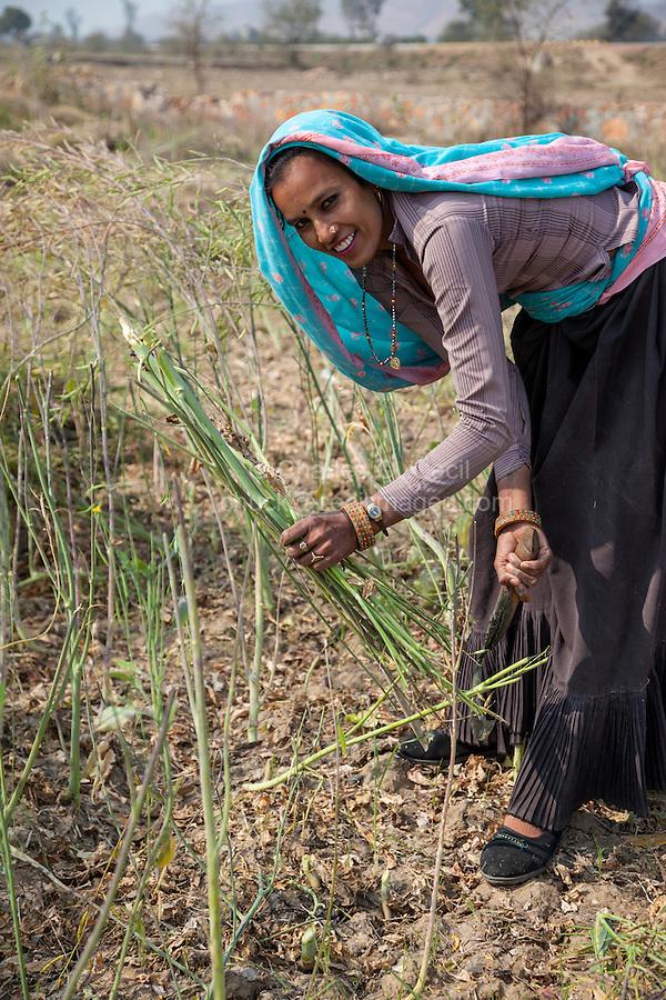 Rajasthan, India.  Rajasthani Woman Harvesting Mustard Seeds.