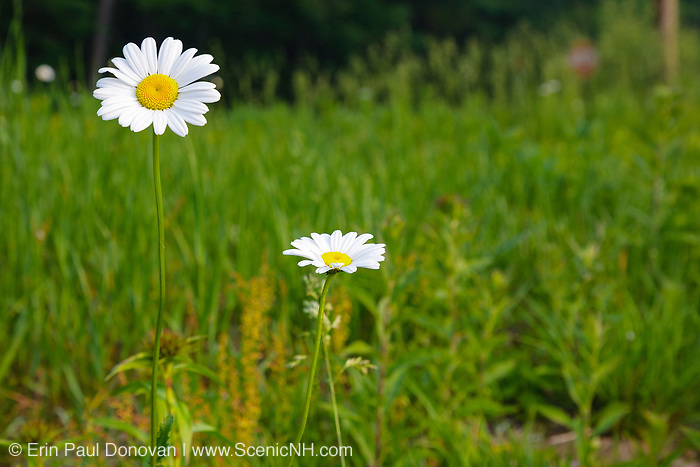 Spring flowers (Daisies )along the Kancamagus Highway (route 112), which is one of New England's scenic byways in the White Mountains, New Hampshire USA