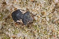 Schildwanze, Phimodera humeralis, shieldbug, Schildwanzen, Scutelleridae, jewel bugs, metallic shield bugs, shield-backed bugs