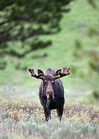 We had a few nice moose sightings, including this bull whose antlers appeared to be growing quickly.