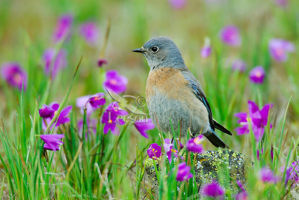 Female Western Bluebird (Sialia mexicana).  The wildflowers are called Grass Widows and are one of the earliest wildflowers found in the Columbia River Gorge National Scenic Area.  One often finds hardy individuals in early February, but the peak bloom for these flowers usually occurs in early March, which coincides with the return of these beautiful birds to this area.