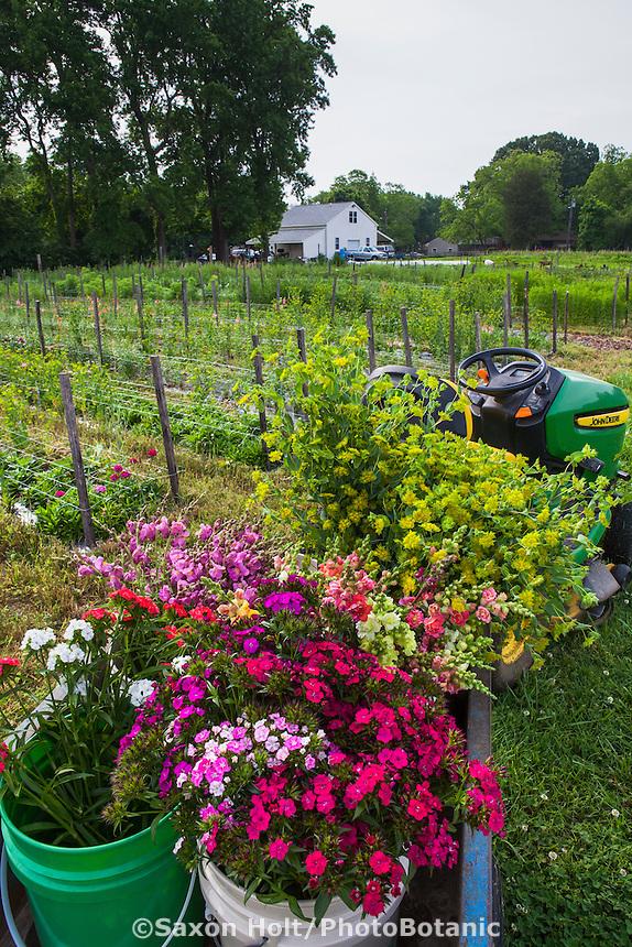 Cool season annual flowers in harvest buckets at Lisa Ziegler's Gardener's Workshop farm; Newport News Virginia