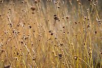GERMANY, lower saxonia, Forest / DEUTSCHLAND, Niedersachsen, Lüneburger Heide, Wald und Moor, Ottermoor, Torf mit Gras Weißes Schnabelreet