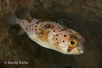 0228-1003  Porcupine Pufferfish (Spiny Balloonfish), Diodon holocanthus  © David Kuhn/Dwight Kuhn Photography.