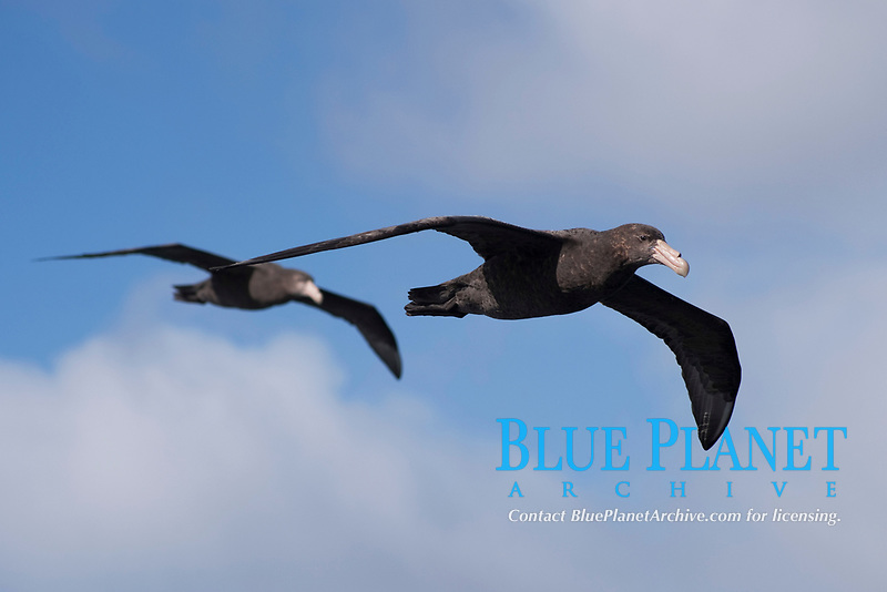 Southern Giant Petrels, Macronectes giganteus, Gough Island, South Atlantic Ocean