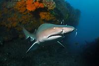 sand tiger shark, grey nurse shark, spotted ragged-tooth shark, Carcharias taurus, critically endangered in Australia, Cherub's Cave, Moreton Bay Marine Park, Brisbane, Queensland, Australia, South Pacific Ocean