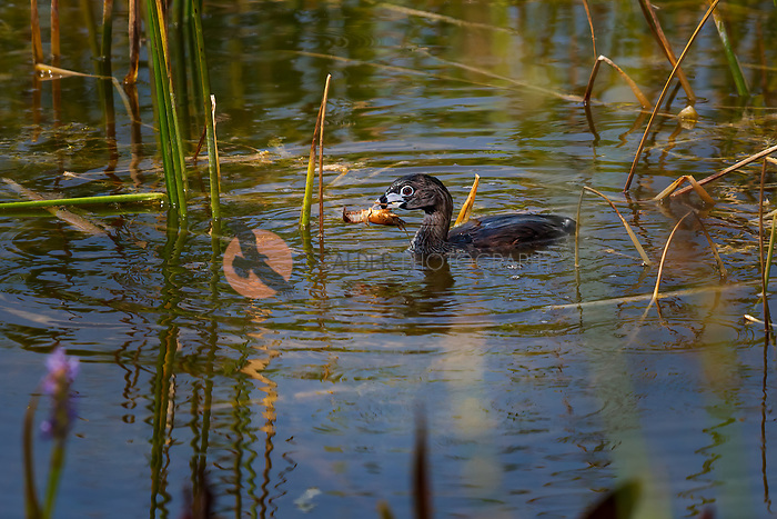 Very wet Pied-billed Grebe coming up from dive with shrimp in beak, Grebe is in breeding colors