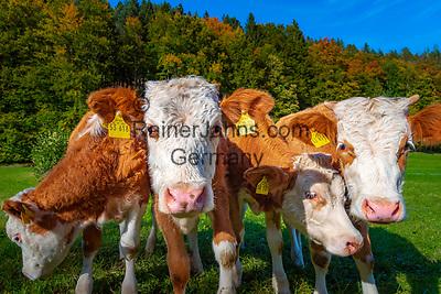 Deutschland, Bayern, Chiemgau, Hinterwoessen: neurigieriges Jungvieh mit Ohrmarken auf Sommerwiese | Germany, Bavaria, Chbiemgau, Hinterwoessen: snoopy young cattle with ear marks on summer pasture