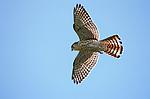 Hovering Mauritius Kestrel (Falco punctatus). Black River Gorges, National Park, Mauritius.