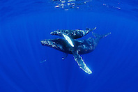 humpback whales, Megaptera novaeangliae, mother and calf, Hawaii, USA, Pacific Ocean