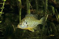 Sonnenbarsch, Sonnen-Barsch, Kürbiskernbarsch, Lepomis gibbosus, pumpkinseed sunfish, pumpkinseed-sunfish