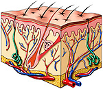Skin tissue anatomy in cross-section showing the epidermis, dermis, hair follicles, sebaceous glands, nerves, arteries and veins.