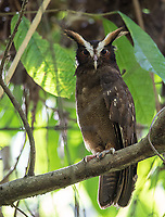 This was my first time seeing Crested owls in Corcovado since my 2013 trip.