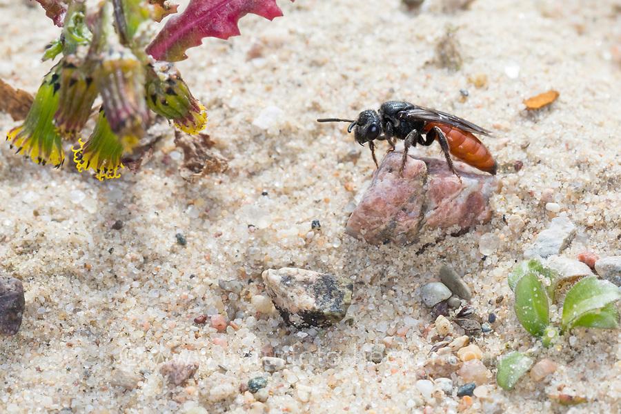 Blutbiene, Große Blutbiene, Riesen-Blutbiene, Auen-Buckelbiene, Auen-Blutbiene, Weibchen, Sphecodes albilabris, Sphecodes fuscipennis, Sweat bee, Halictid Bee, female, Blutbienen, Schmalbienen, Kuckucksbiene, Furchenbienen, Halictidae, Sweat bees, Halictid Bees