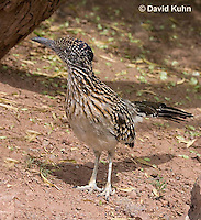 0610-1107  Greater Roadrunner (Chaparral Cock or Ground Cuckoo), Geococcyx californianus  © David Kuhn/Dwight Kuhn Photography