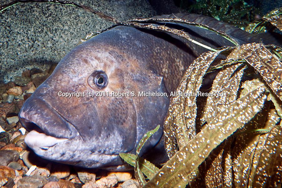 Tautog, or Blackfish sitting on bottom of sea floor