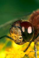 1O06-026b  Skimmer Dragonfly - Ruby Meadowhawk Male - Sympetrum rubicundulum